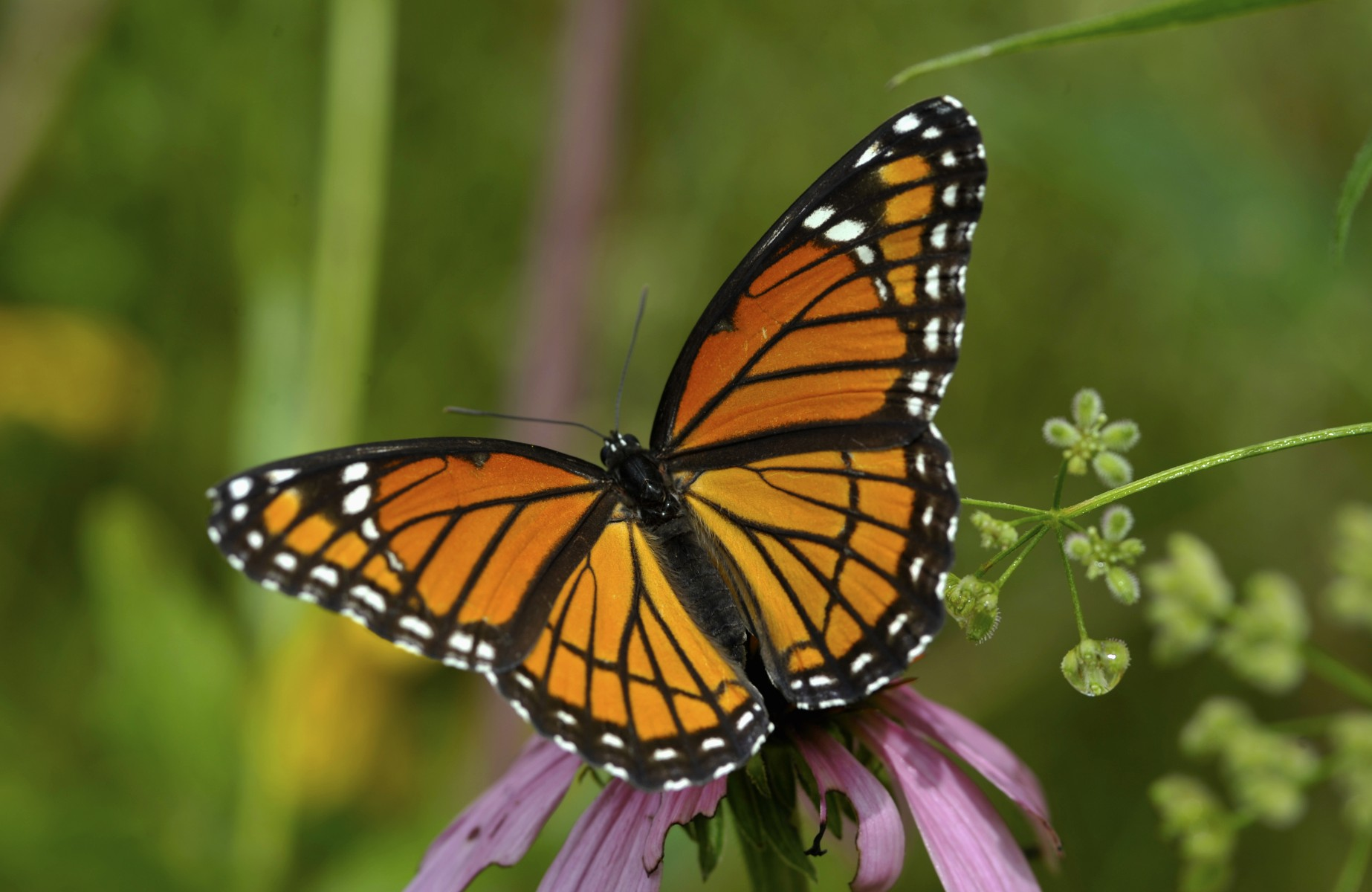 This butterfly is one of the many that has benefited from the enhanced habitats at the refinery.