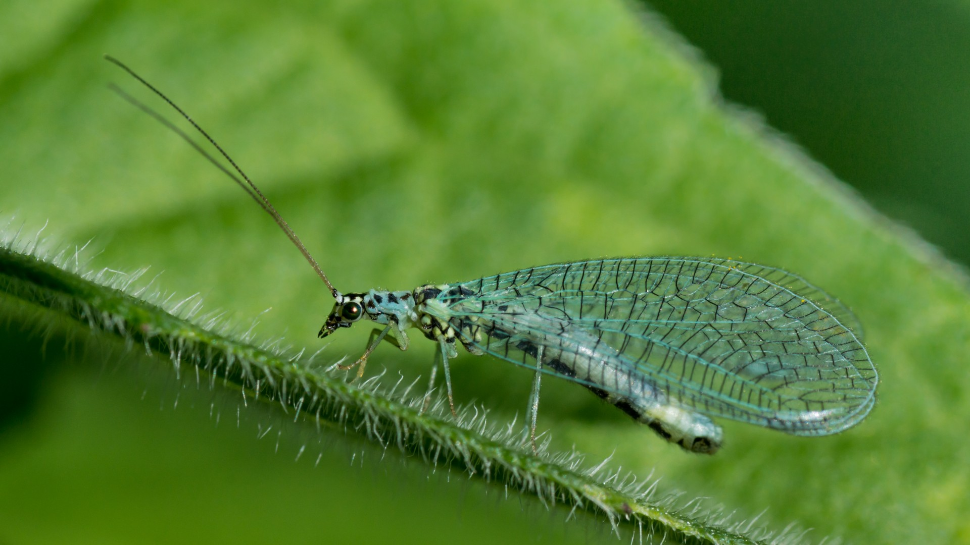 Chrysopidae_01 green lacewing