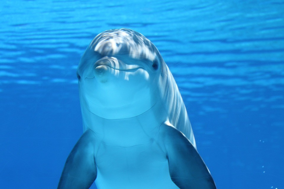 Dolphins have rich 'human-like' cultures and societies due to size of their brains