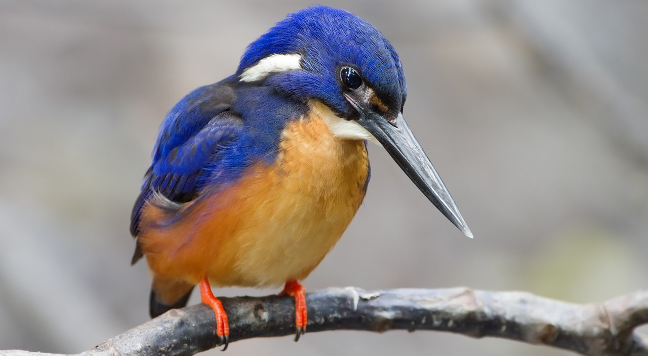 "A kingfisher's beak inspired the design of high-speed trains in Japan, through the process of ""biomimicry,"" or human imitation of nature. (Wikimedia Commons)"