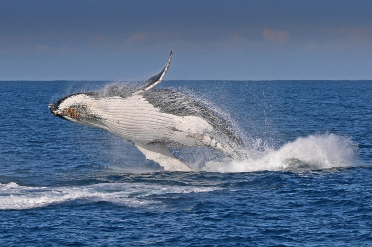 A+Bass+Coast+Whale+Trail+will+be+created+to+highlight+well-known+whale+watching+spots.+Photo+courtesy+of+Wildlife+Coast+Cruises.