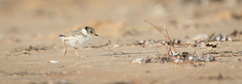 Fledging+of+Hooded+Plover+Chicks.++Photo+courtesy+of+wildlife+photographer%2C+Kim+Wormald