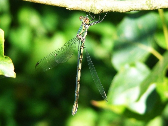 willow-emerald-damselfly-female-c-adrian-parr.jpg