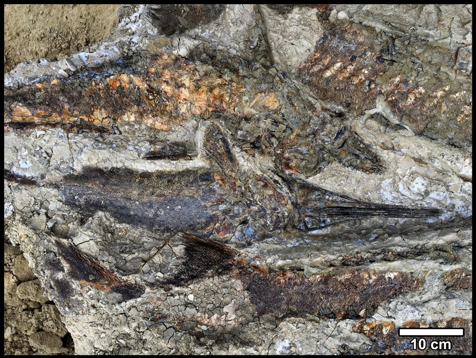 Intertangled mass of fossilised fish