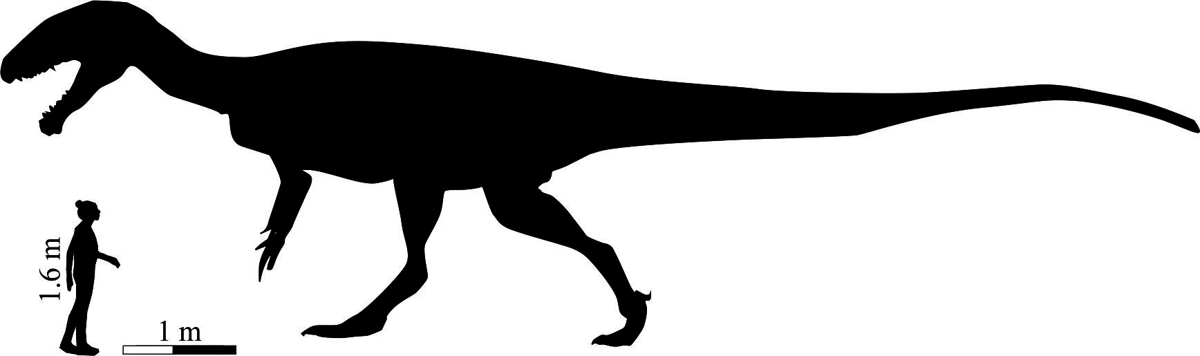 Silhouette of the enormous carnivorous dinosaur that made the Lesotho footprints next to an average human for a sense of scale.