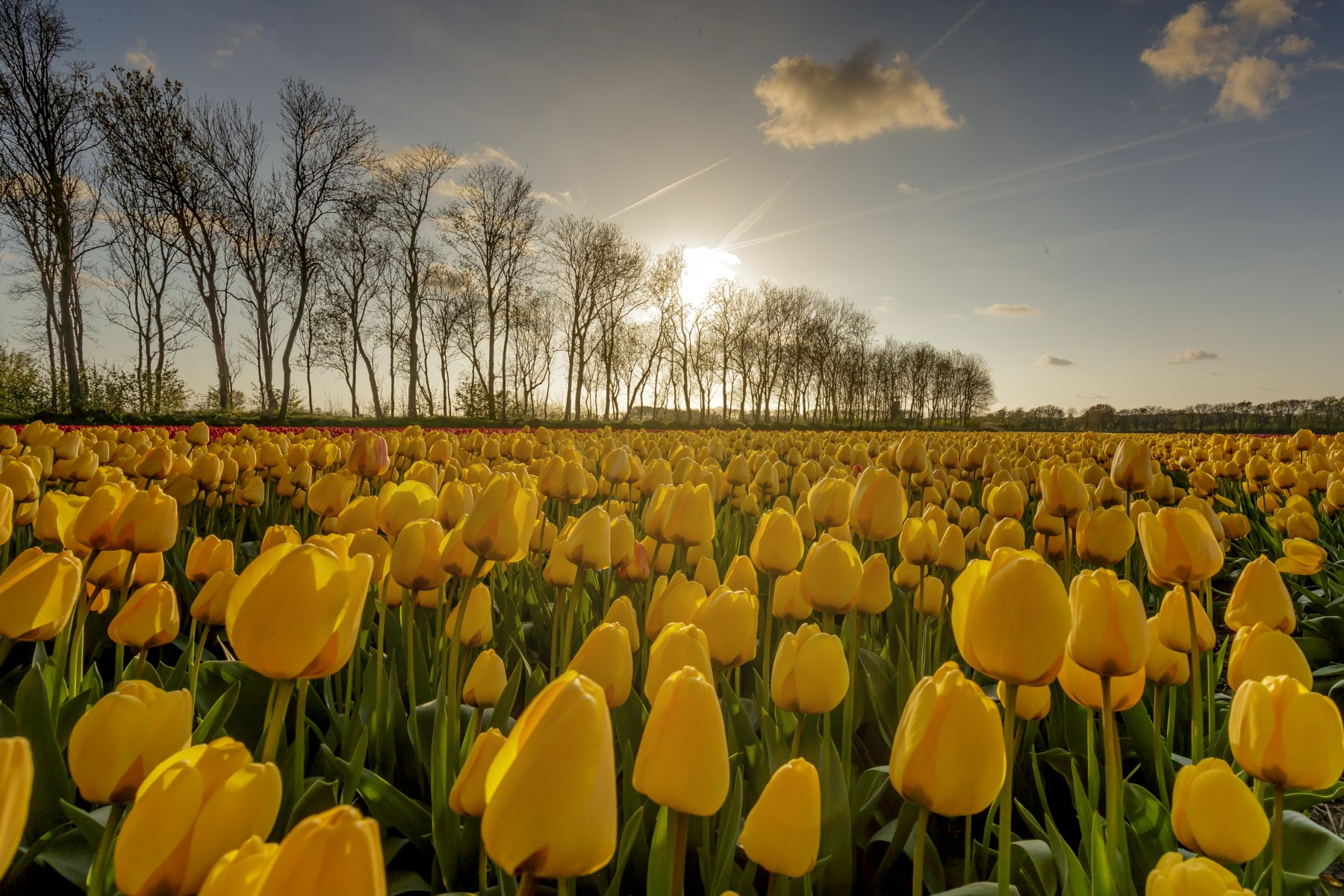 Booking.com invites you to wake up in a field of Dutch tulips