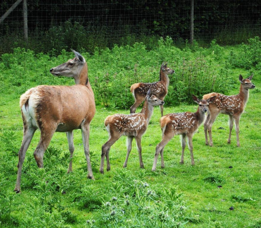 Fawns at Lotherton Hall
