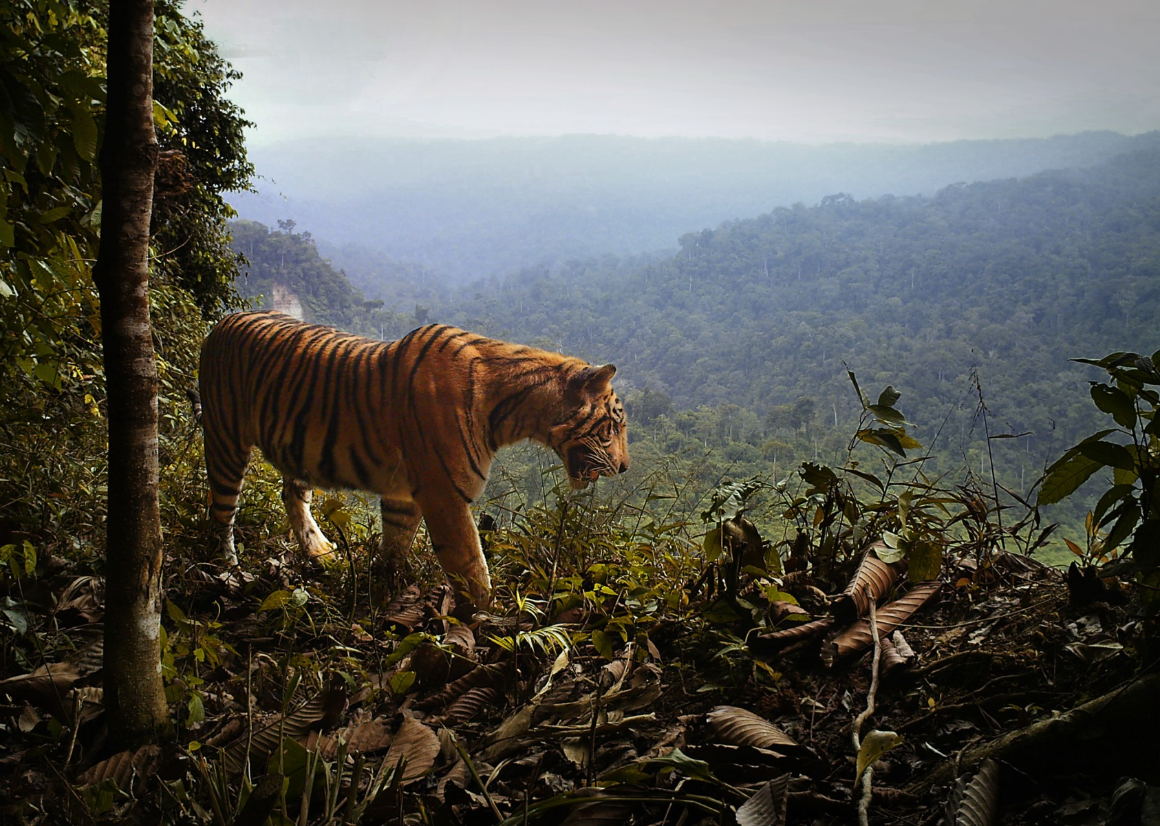An observed uptick in tiger population density in Sumatra's protected forests may result from the endangered cats fleeing unprotected nearby forests, according to a new study.