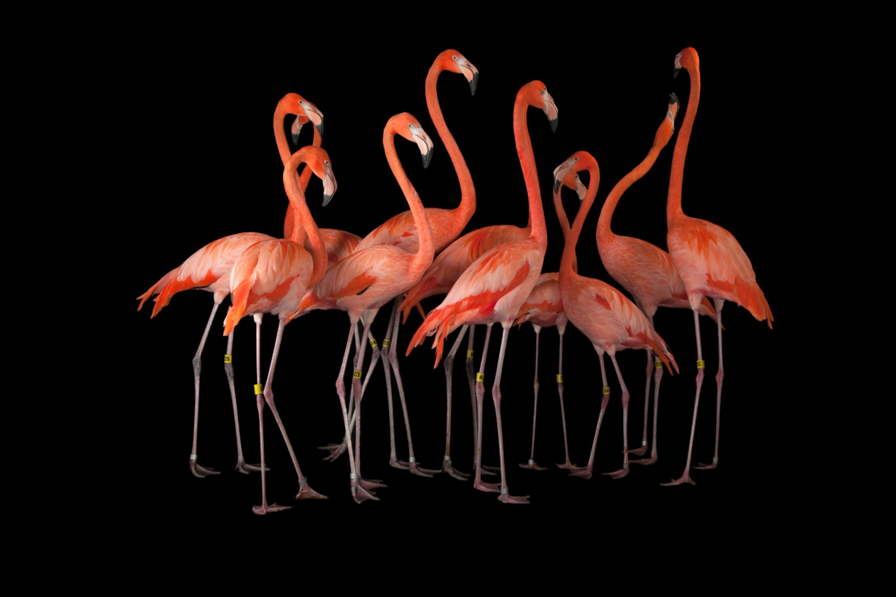 A group of American flamigos, Phoenicopterus ruber.