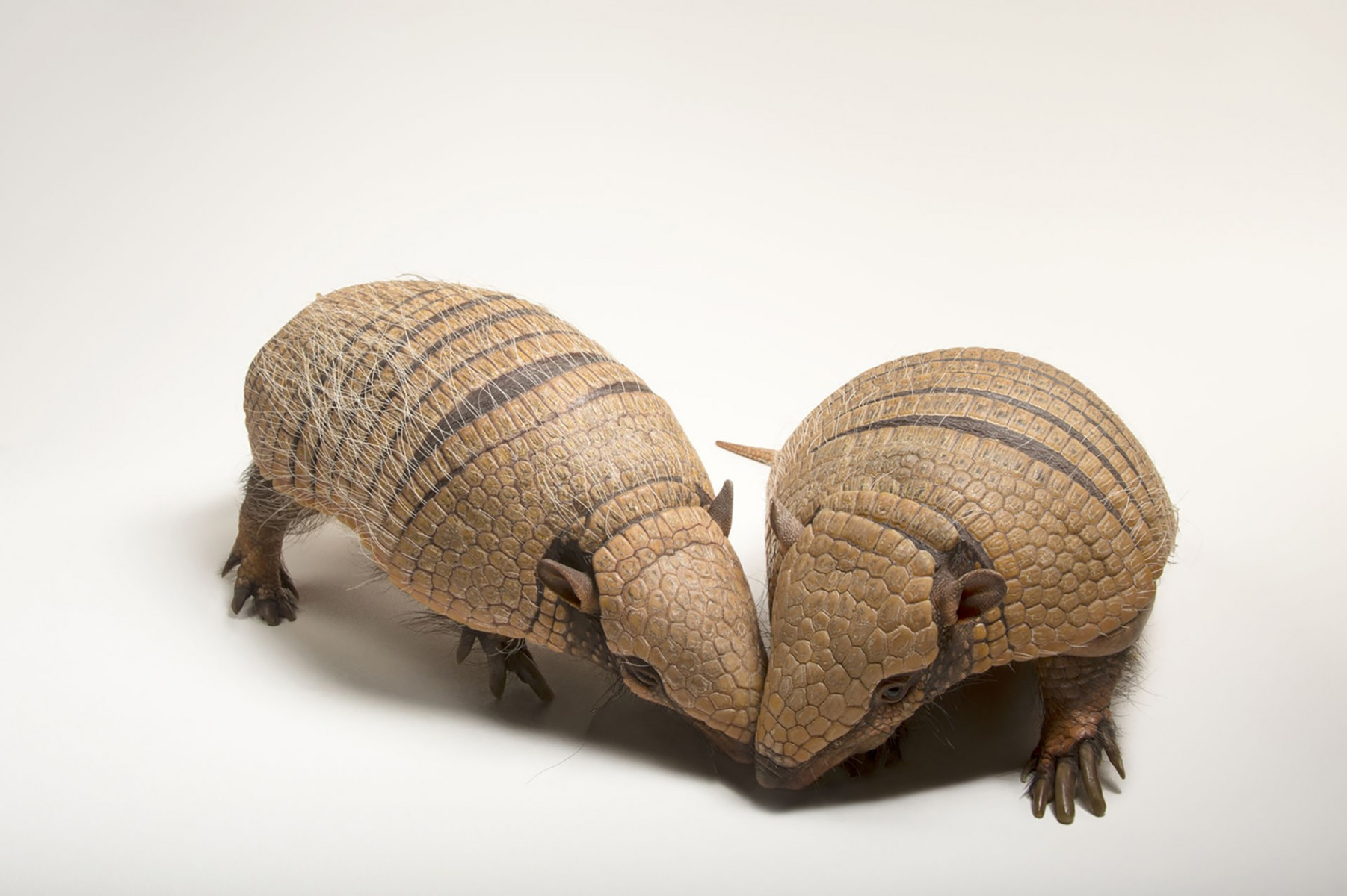 A mated pair of six-banded armadillos (Euphractus sexcinctus) named Dilla (bigger) and Marty at the National Mississippi River Museum and Aquarium in Dubuque, Iowa.