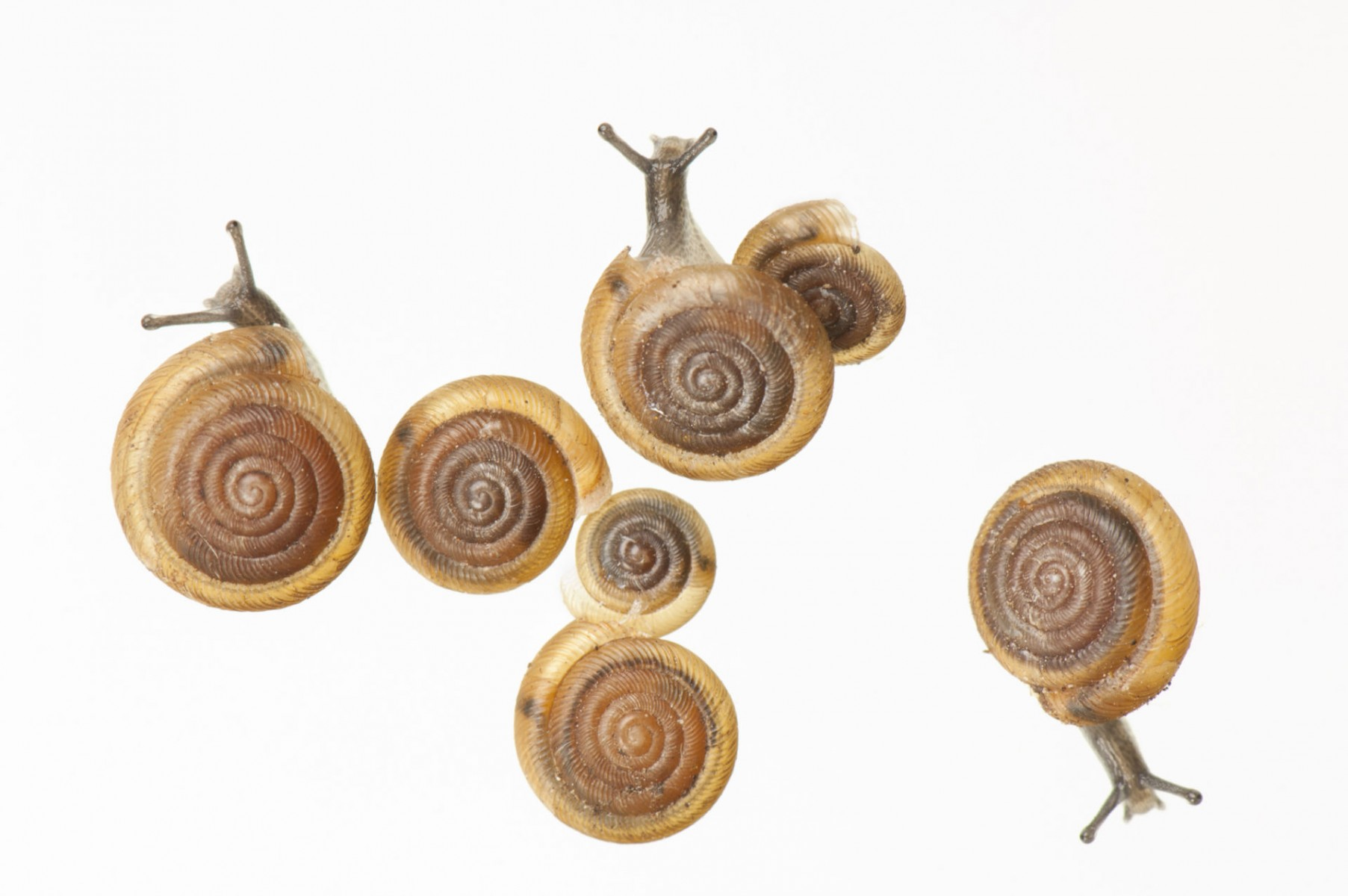 The Iowa Pleistocene snail (Discus macclintocki). This is a relict from the last ice age, some 400,000 years ago. It lives in cold air vents on 37 different hillsides in Iowa (and one in Illinois) and survives only in the cold air that blows past underground ice and out of the cracks in limestone algific talus slopes. (US: Endangered; IUCN: Least Concern)