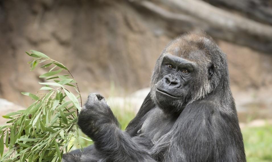 Audubon Zoo Welcomes Critically Endangered Western Lowland