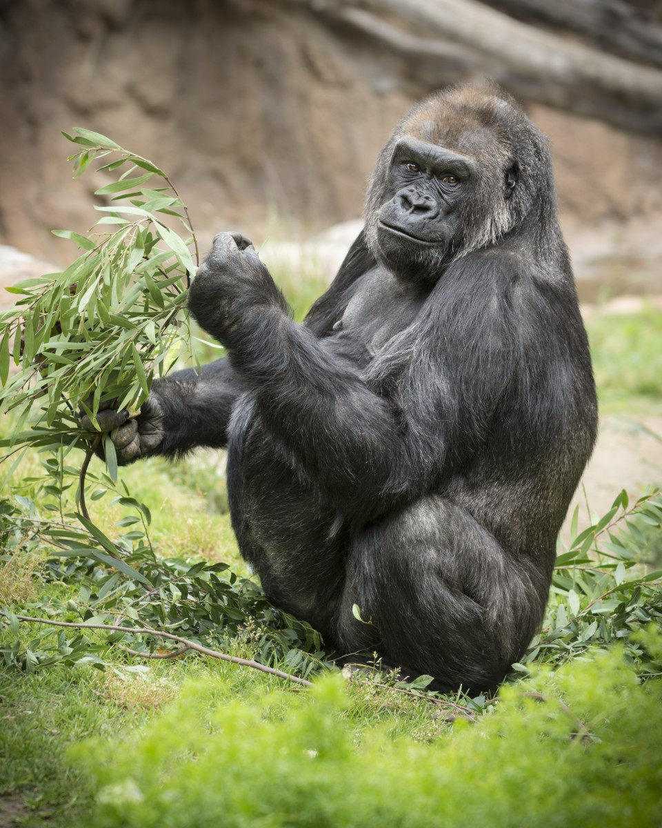 Audubon Zoo Welcomes Critically Endangered Western Lowland Gorilla