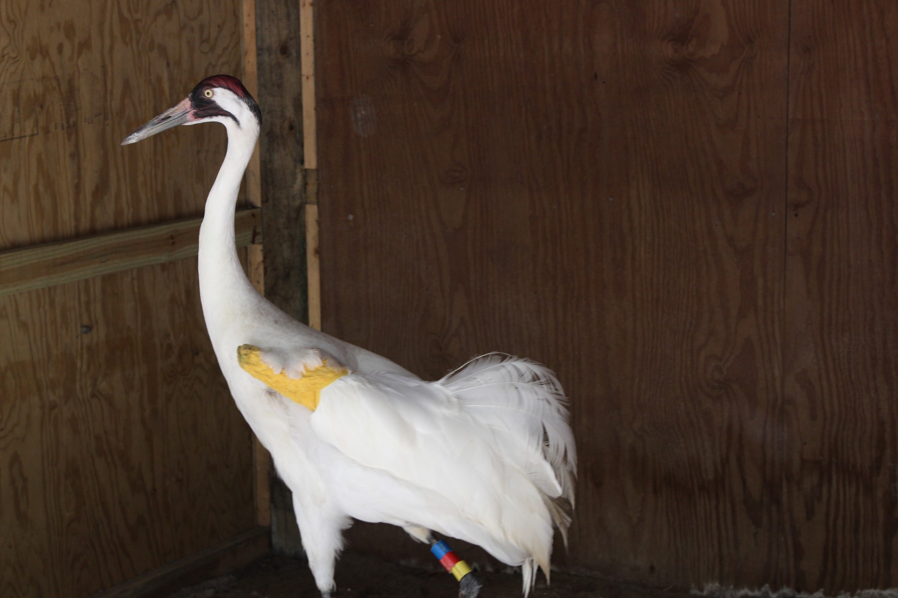 Whooping Crane L10-11