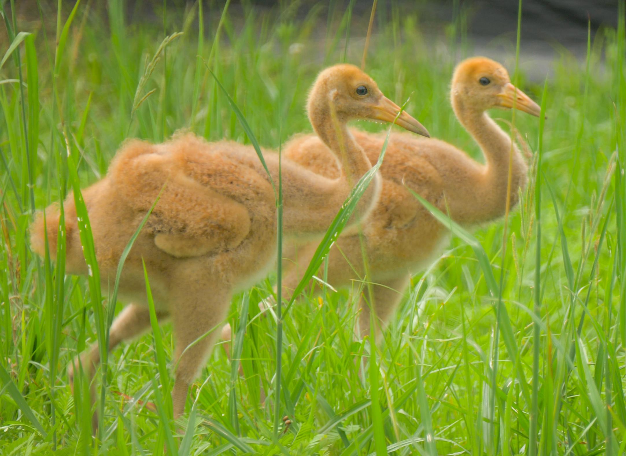 Endangered Whooping Cranes Make a Major Comeback at Freeport-McMoRan Audubon Species Survival Center