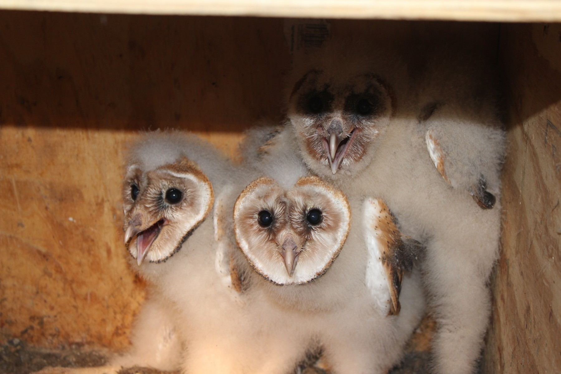 Barn Owls Rehabilitated At ZooAmerica