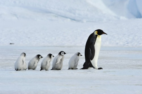 Take it Slow on the Ice: Walk Like a Penguin