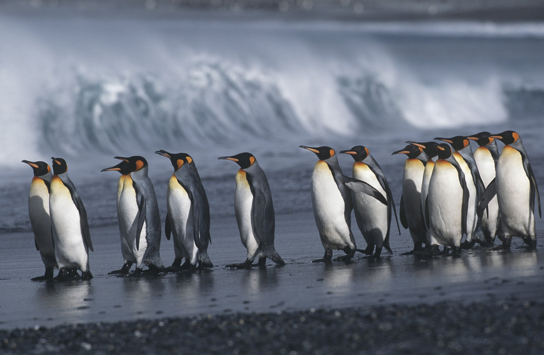 penguins marching