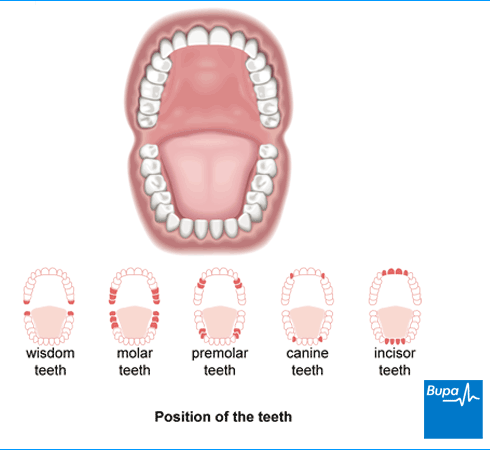 Position Of The Teeth Bupa Dental