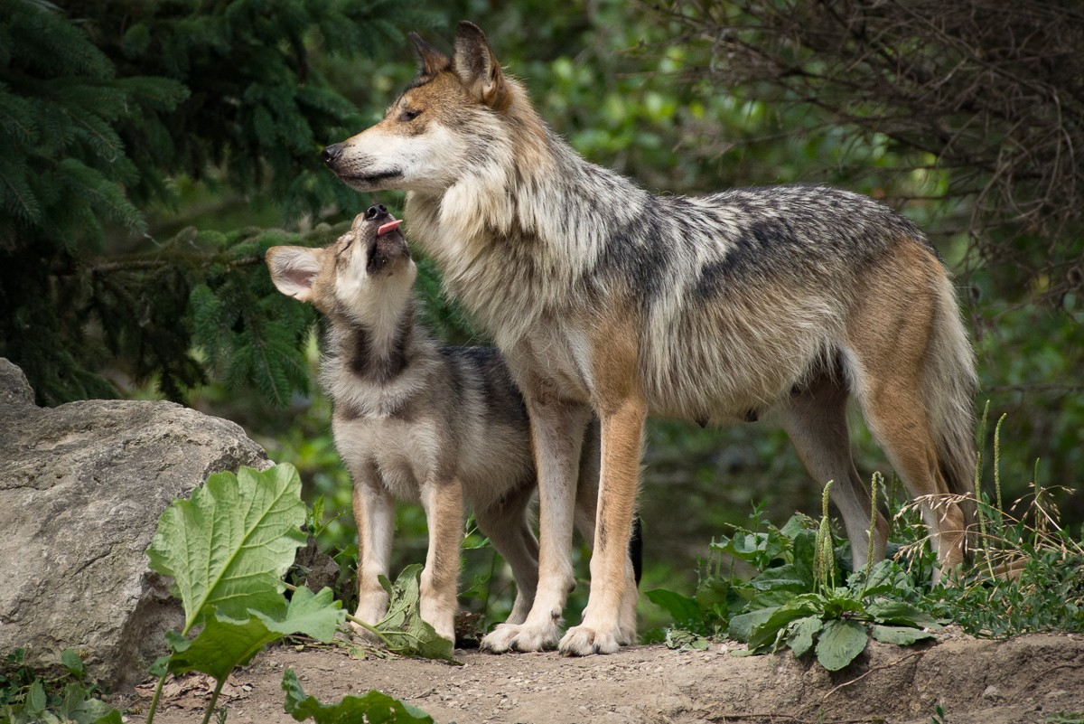 The hunt for the mexican grey wolf