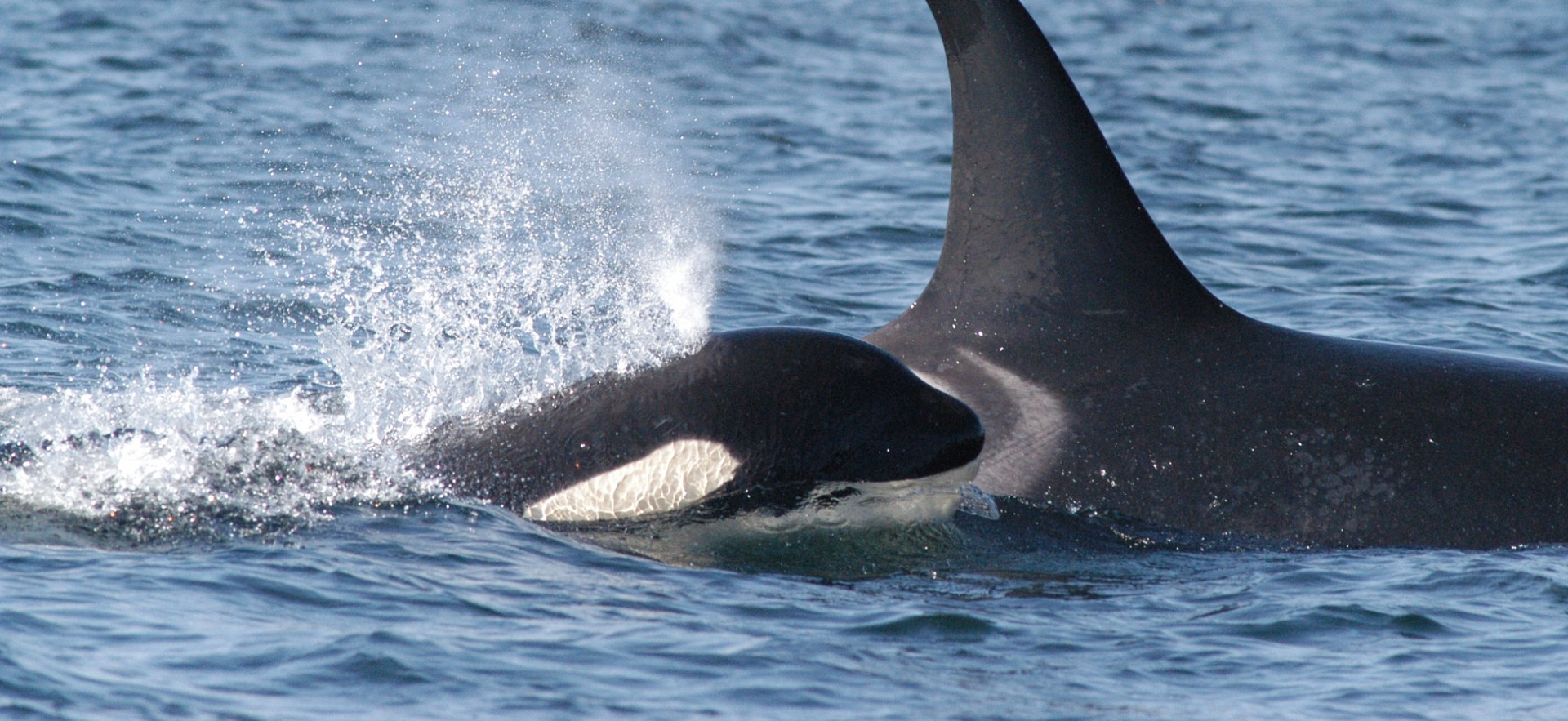 Southern resident killer whale, ©NOAA