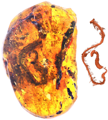 The tiny snake's well-preserved skeleton (reconstruction at right) was found encased in a pebble-sized chunk of amber. (Image: Ming Bai, Chinese Academy of Sciences)