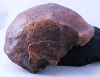 This skull cap belonged to one of the last known members of the Homo erectus species. (Photo courtesy of Russell L. Ciochon and Kiran Patel, University of Iowa)
