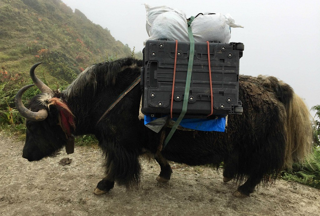 Pack horse of the plateau: Like the Sherpa, the yak is well suited to its low-oxygen habitat.