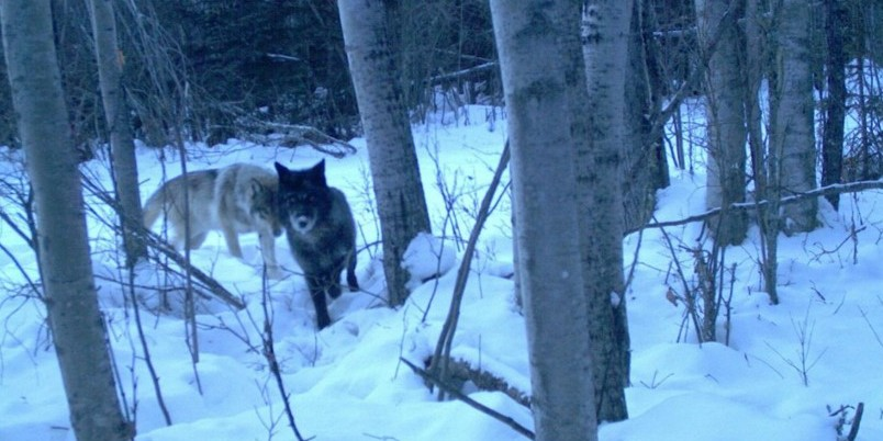 Two wolves peer into a wildlife camera in Alberta's Athabasca Oil Sands region. (Photo courtesy Wildlife Habitat Effectiveness and Connectivity.)