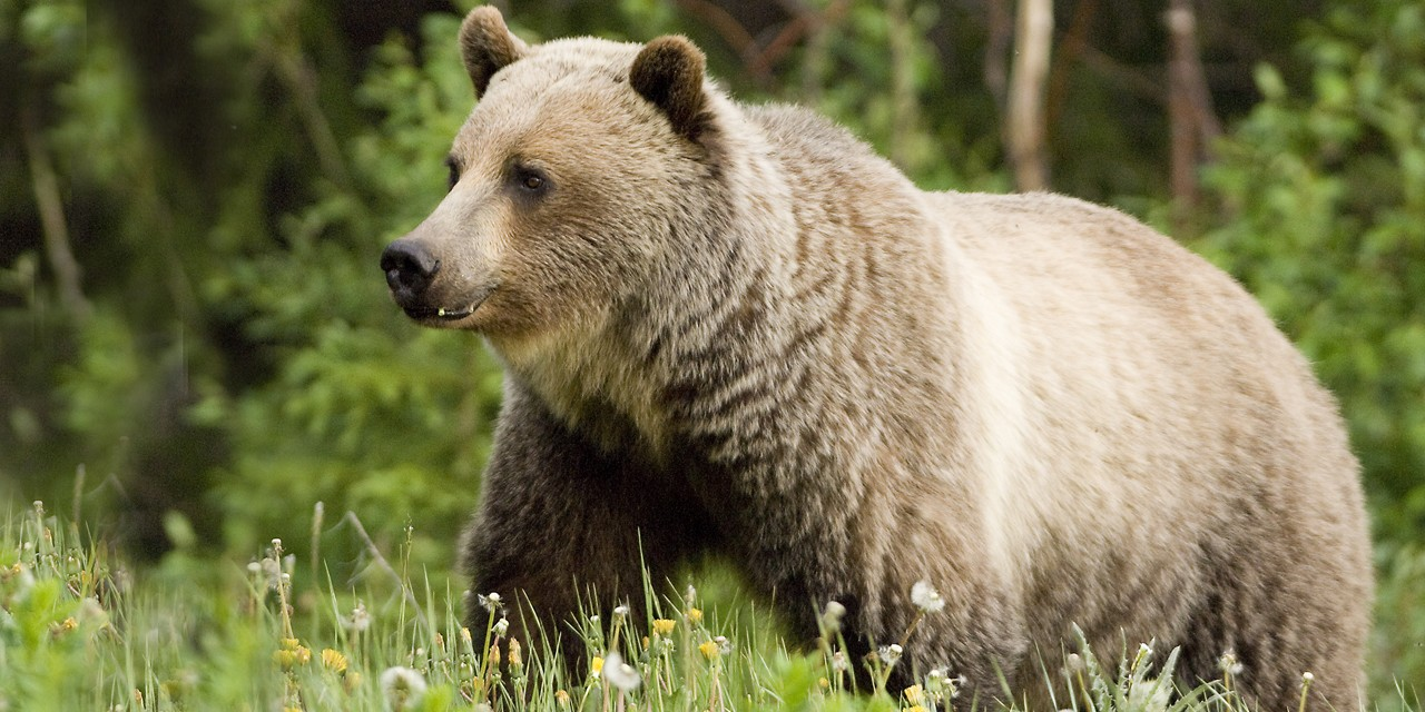 The B.C. government announced in late August that it's moving towards permanently closing grizzly trophy hunting by the end of November, with immediate closure in the Great Bear Rainforest. Hunting grizzlies for their meat is still permitted. (Photo by Emily Court)