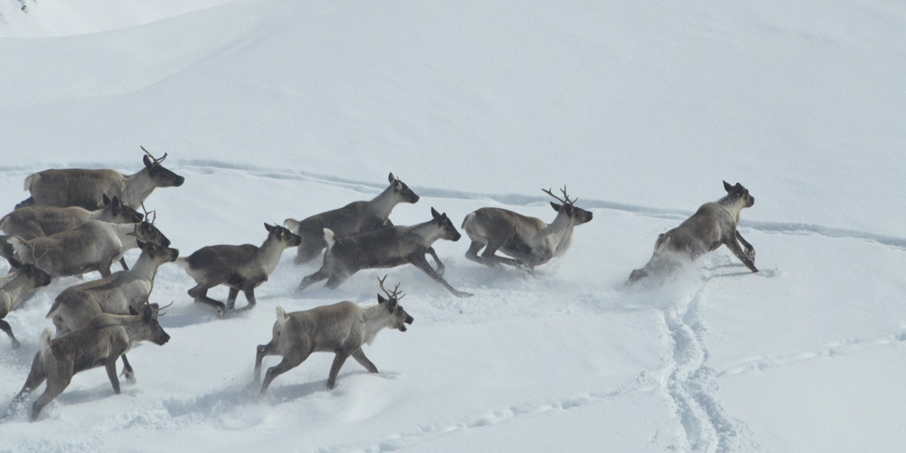 A new UAlberta study reveals mountain caribou are in danger in North America largely because the numbers of fellow prey animals, like deer and moose, are on the upswing.  (Photo by Robert Serrouya)