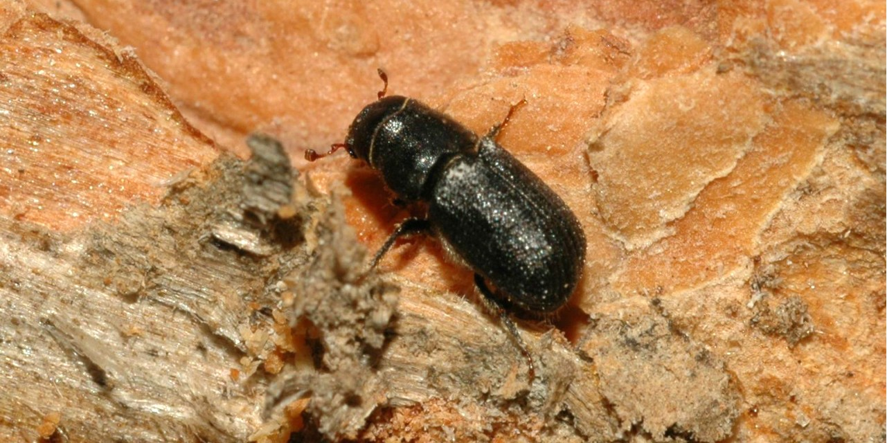 As the voracious mountain pine beetle advances on untouched forests, researchers are testing new ways to trap more of the bugs in hopes of preventing damage to trees.