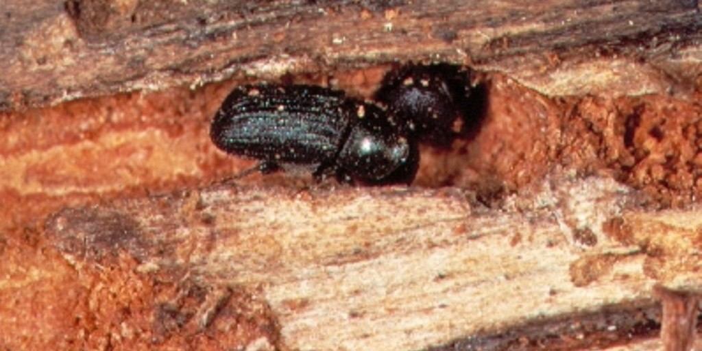 A mountain pine beetle burrows into a tree in Jasper National Park. The beetles have infested more than 10,000 pine trees in the area.