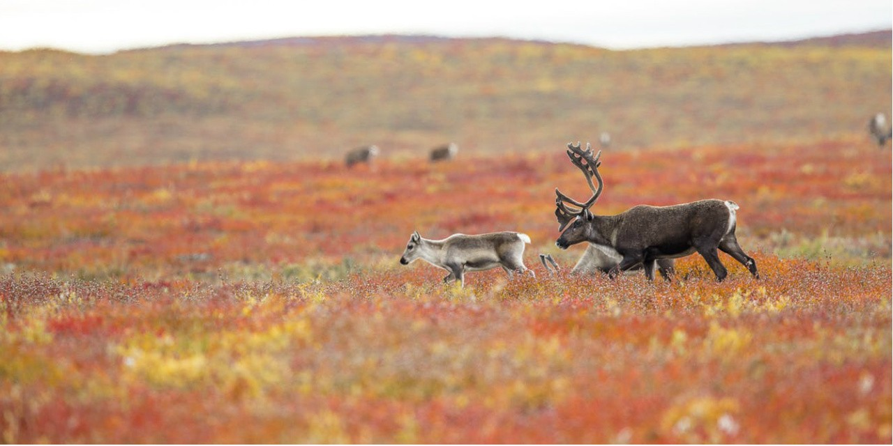 Barren-ground caribou in autumn near Kugluktuk, Nuanvut (Photo: Mathieu Dumond/Umingmak Productions)