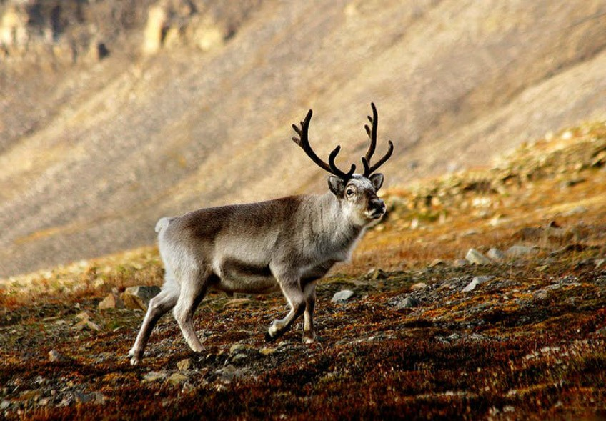 Svalbard reindeer are the smallest subspecies of reindeer. (Photo: Per Harald Olsen/Wikimedia, CC BY-SA)