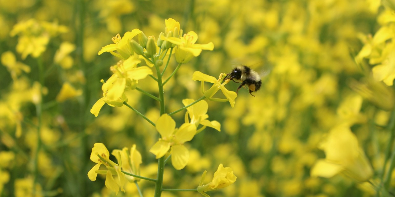 Farmers and ranchers can help their resident bee populations thrive by grazing for increased range health, growing more flowering plants or maintaining existing hedgerows around their fields, UAlberta research suggests. (Photo: Monica Kohler)