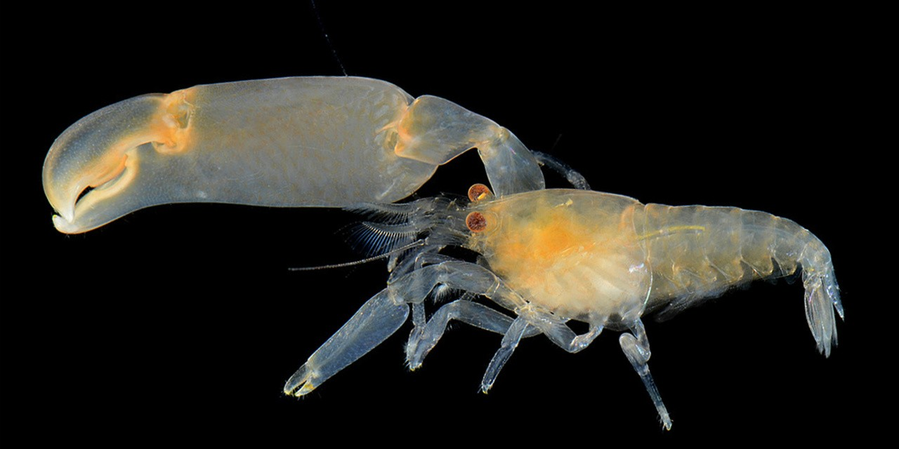 A species of snapping shrimp with a massive claw that can shut so quickly it creates an aquatic shock wave. (Photo: Arthur Anker)