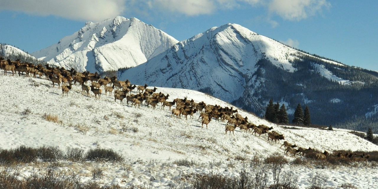 An international study of how human activity affects movement of mammals included data from UAlberta biologists who study migratory elk moving along the eastern front of the Rocky Mountains and around Banff National Park. (Photo: Celie Intering)