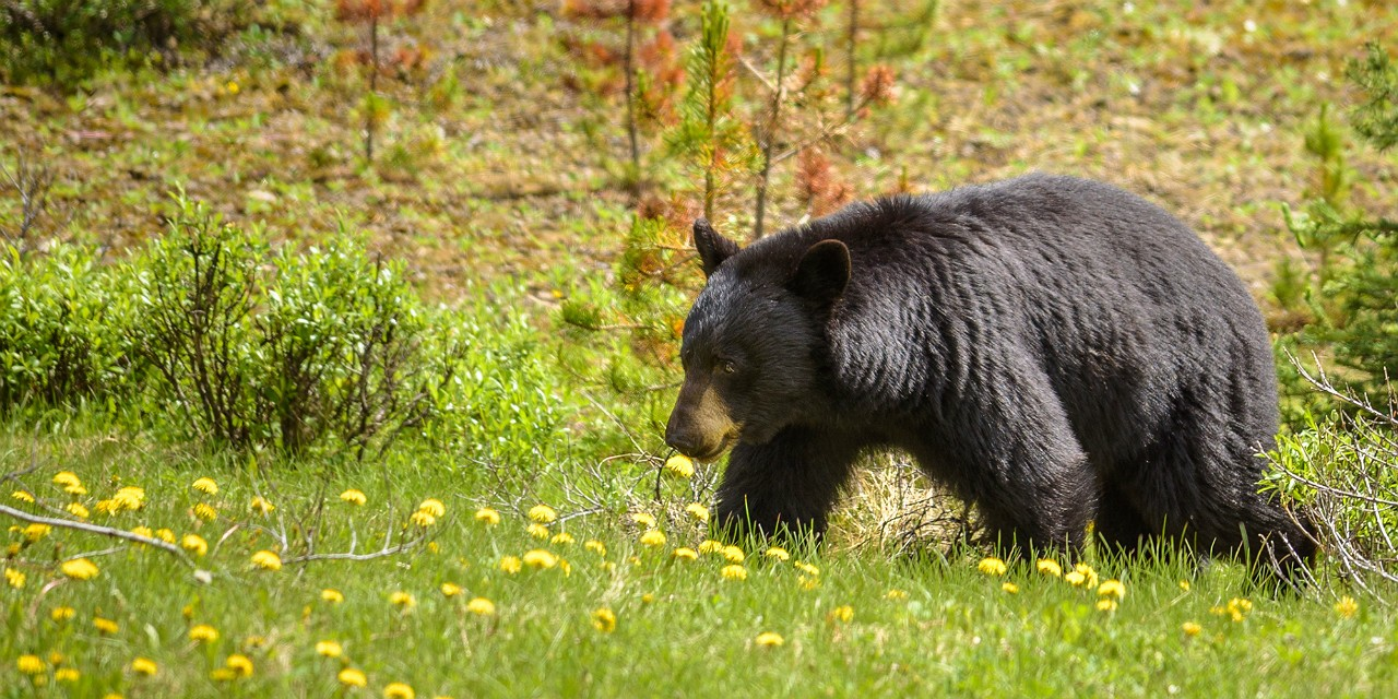 Black bears and grizzlies in and around Jasper National Park avoided trails where motorized recreation was common, a new UAlberta study shows.