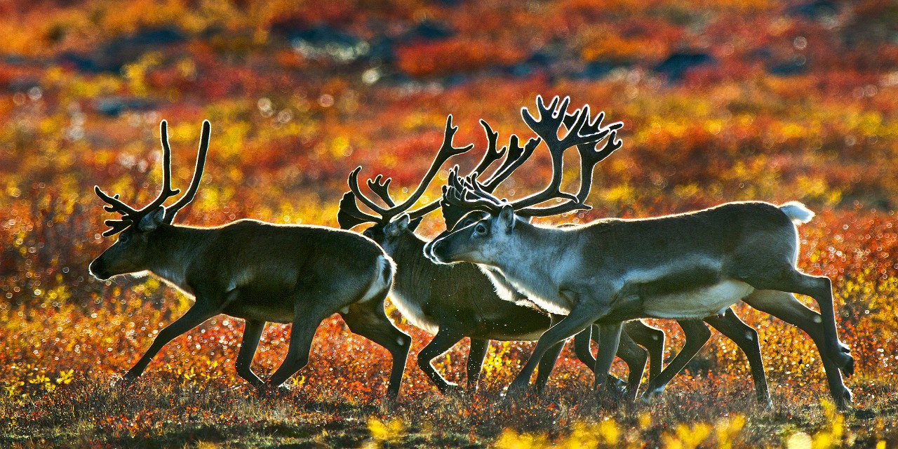 Barren-ground caribou herds in Canada's North tend to cycle in size every 40 to 70 years. Harvest data and related research show that Indigenous people adapt to those cycles by reducing hunting when the herd is smaller. (Photo: Robert Berdam)