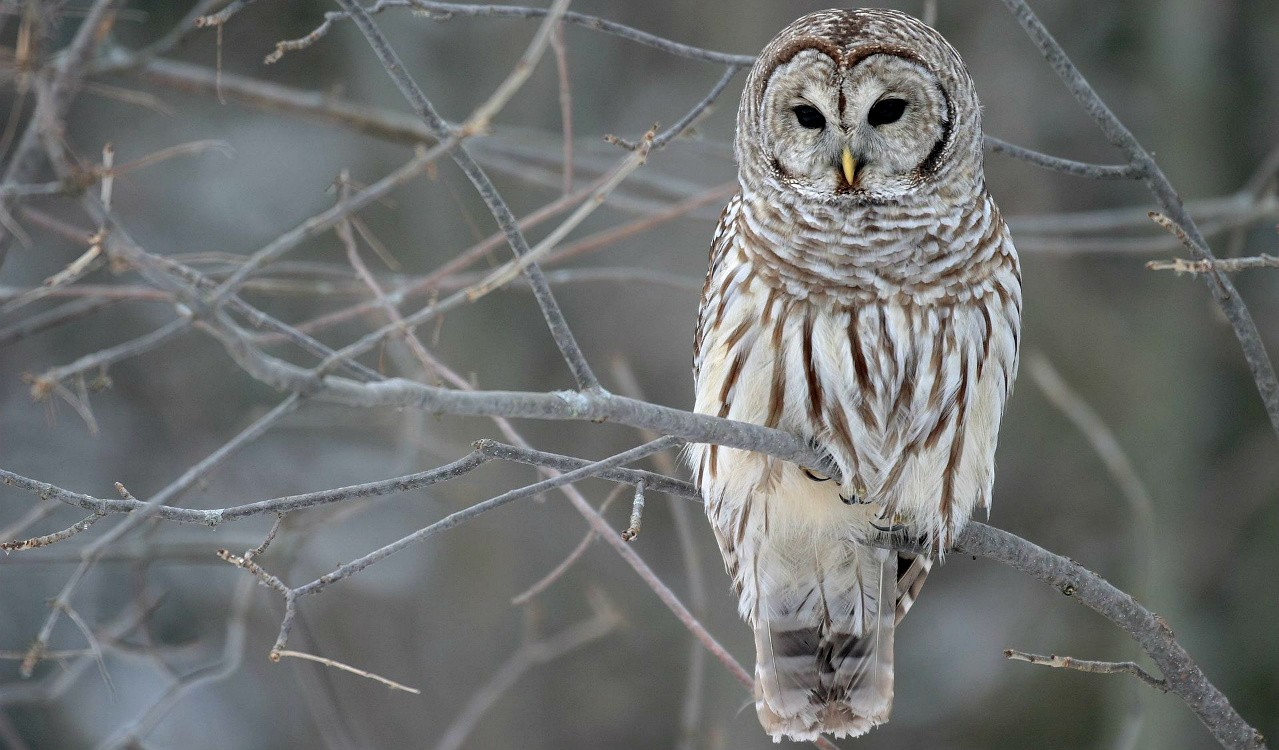 UAlberta graduate student Julia Shonfield's automated system for identifying owl calls could make it easier and safer for biology researchers to study the nocturnal birds of prey. (Photo: Mdf via Wikimedia Commons, CC BY-SA 3.0)