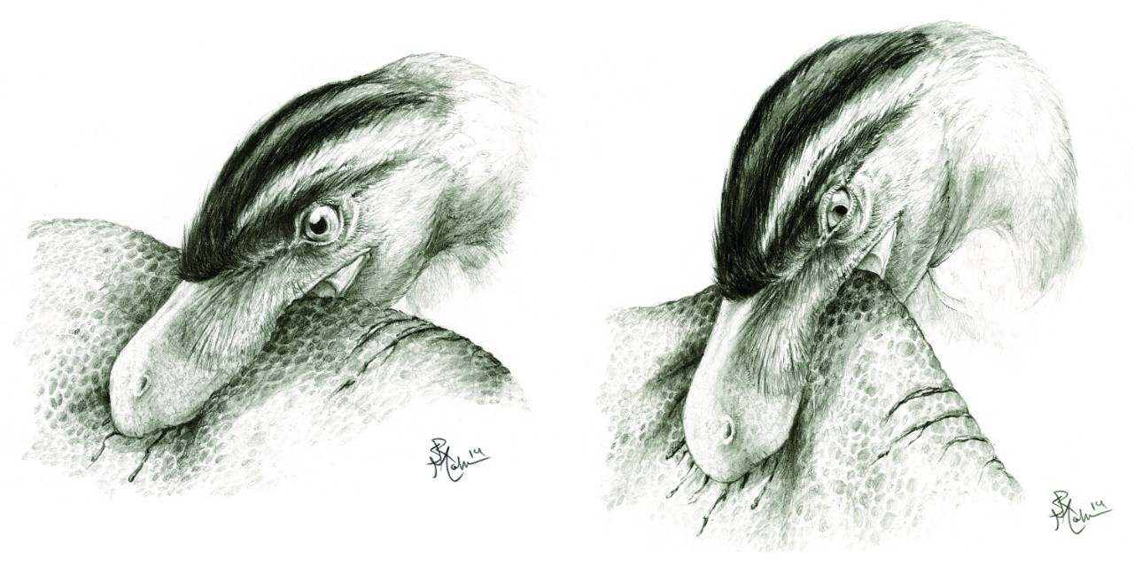 Saurornitholestes, a small meat-eating dinosaur, bites down into the flesh of a duck-billed dinosaur (left) and pulls its head backwards. Researchers reconstructed the biting movements by looking at scratches left on the teeth during feeding. (Illustration: Sydney Mohr)