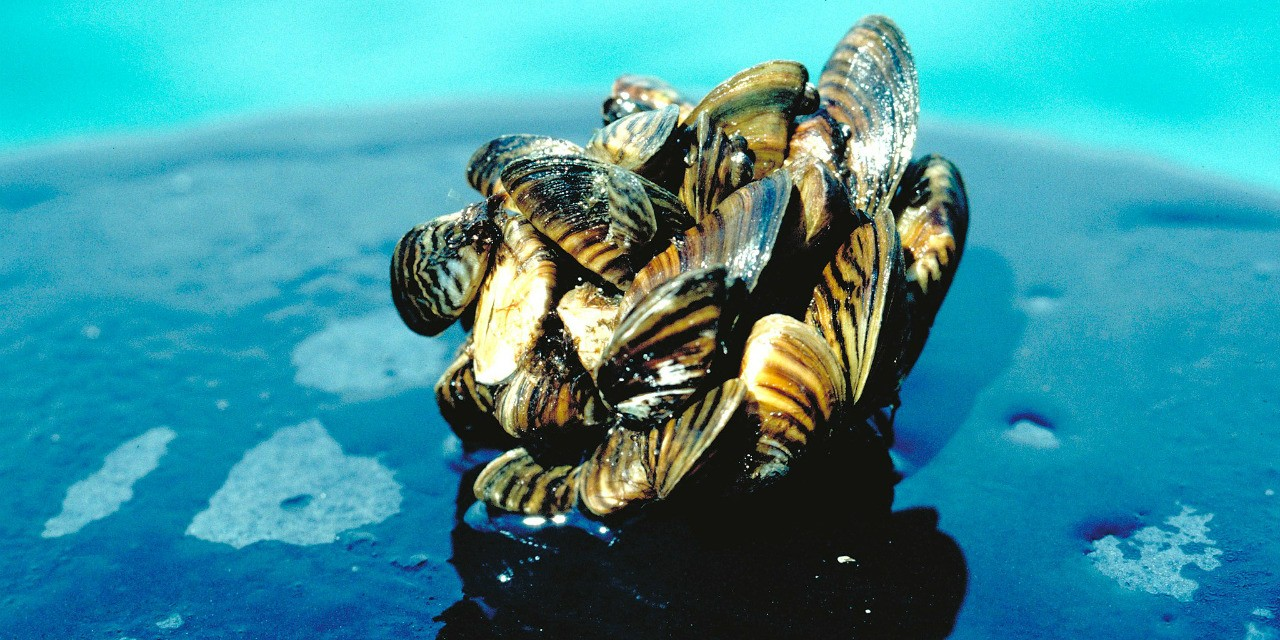 Zebra mussels are one of many aquatic species that have invaded Canada's rivers, lakes and coastlines. A new decision-tree tool developed by UAlberta researchers could help environmental managers determine the best way to deal with these invasive species.