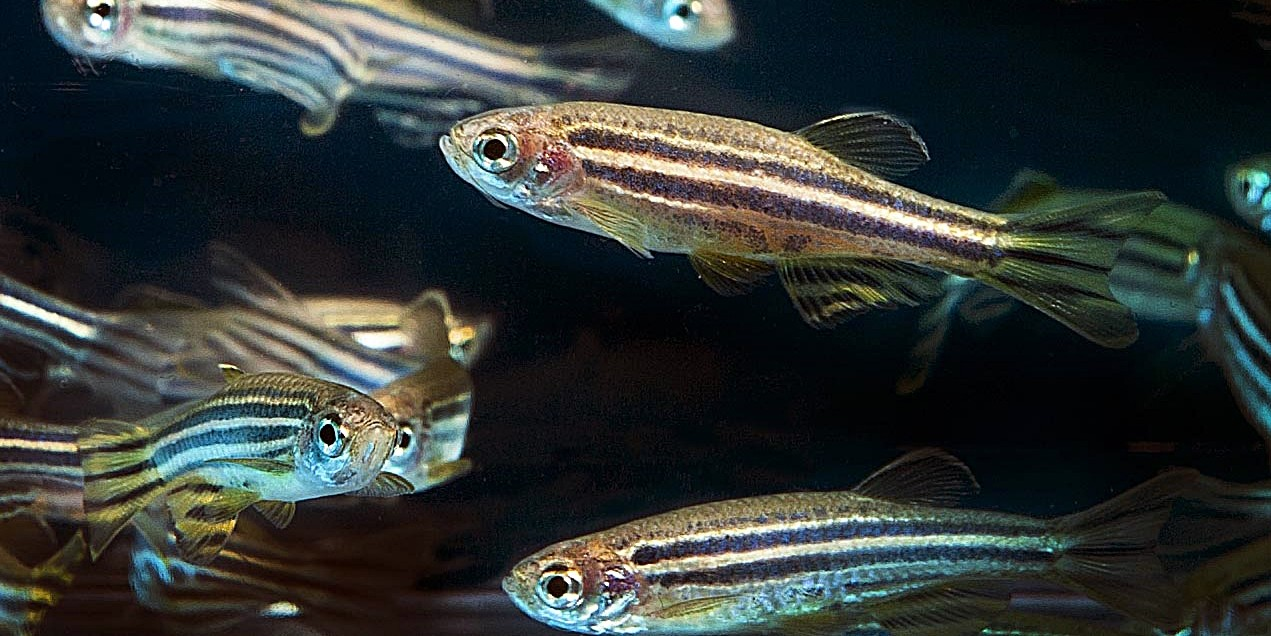 A U of A study found mortality and malformations increased in zebrafish that were exposed to chemical components of cannabis five hours after fertilization. (Photo: Wikimedia Commons)