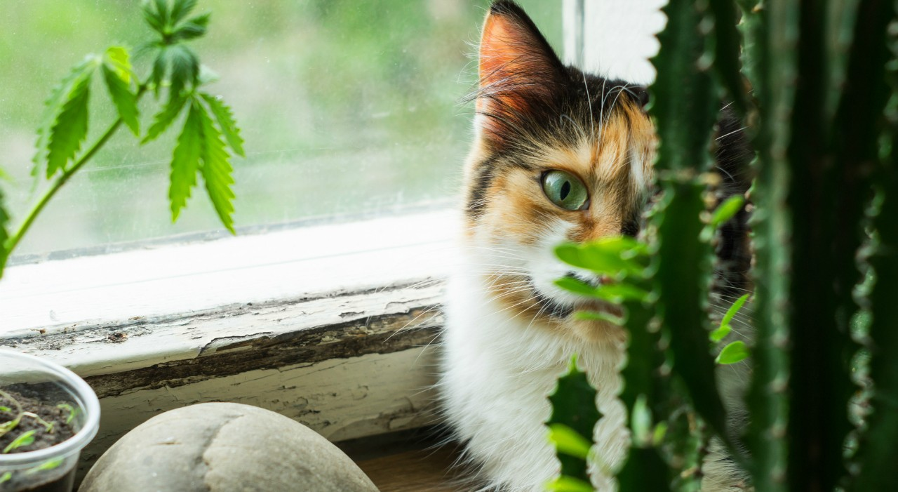 Why pets and cannabis don?t mix