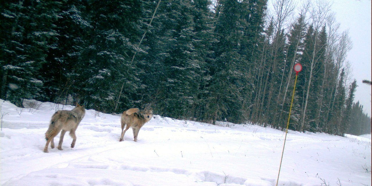 Two wolves on the move are captured by a trail camera in northeastern Alberta. A new study by U of A biologists shows that wolves move more slowly and travel less distance when snow is falling. (Photo courtesy Amanda Droghini)