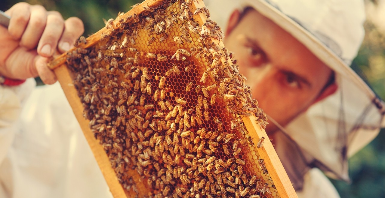 A probiotic developed by U of A students could give Alberta beekeepers a new way to protect their hives from a deadly fungus that has spread to honeybees worldwide. (Photo: Getty Images)