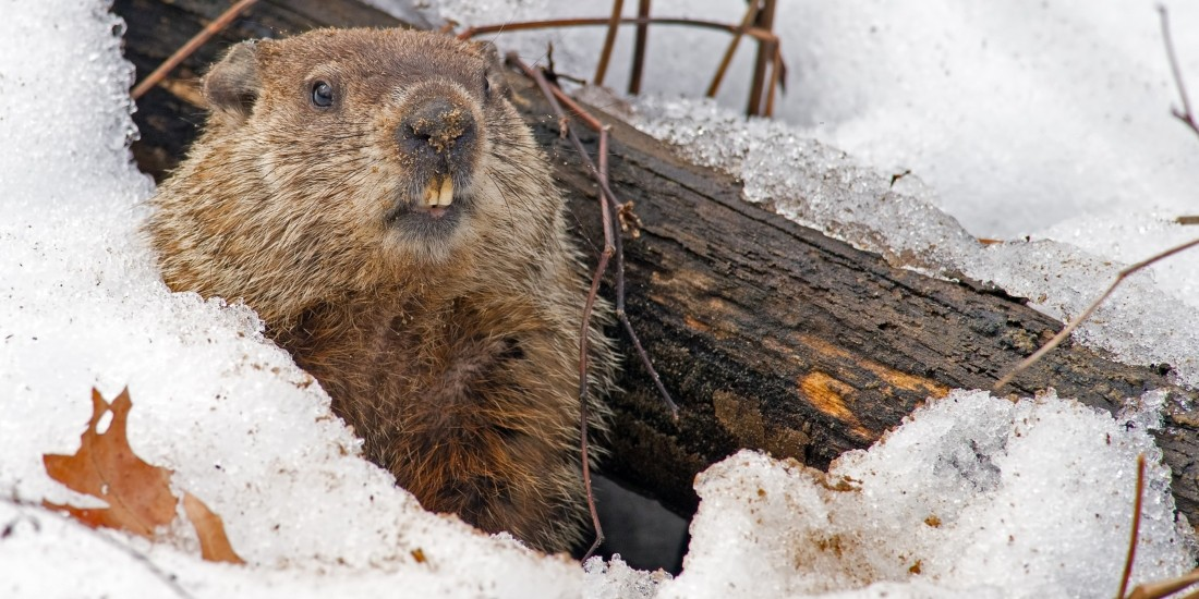 There are many reasons groundhogs emerge from their burrows in early February—so many that scientists still aren't exactly sure how it happens—but predicting how much longer winter will last isn't one of them, says a U of A expert. (Photo: Getty Images)