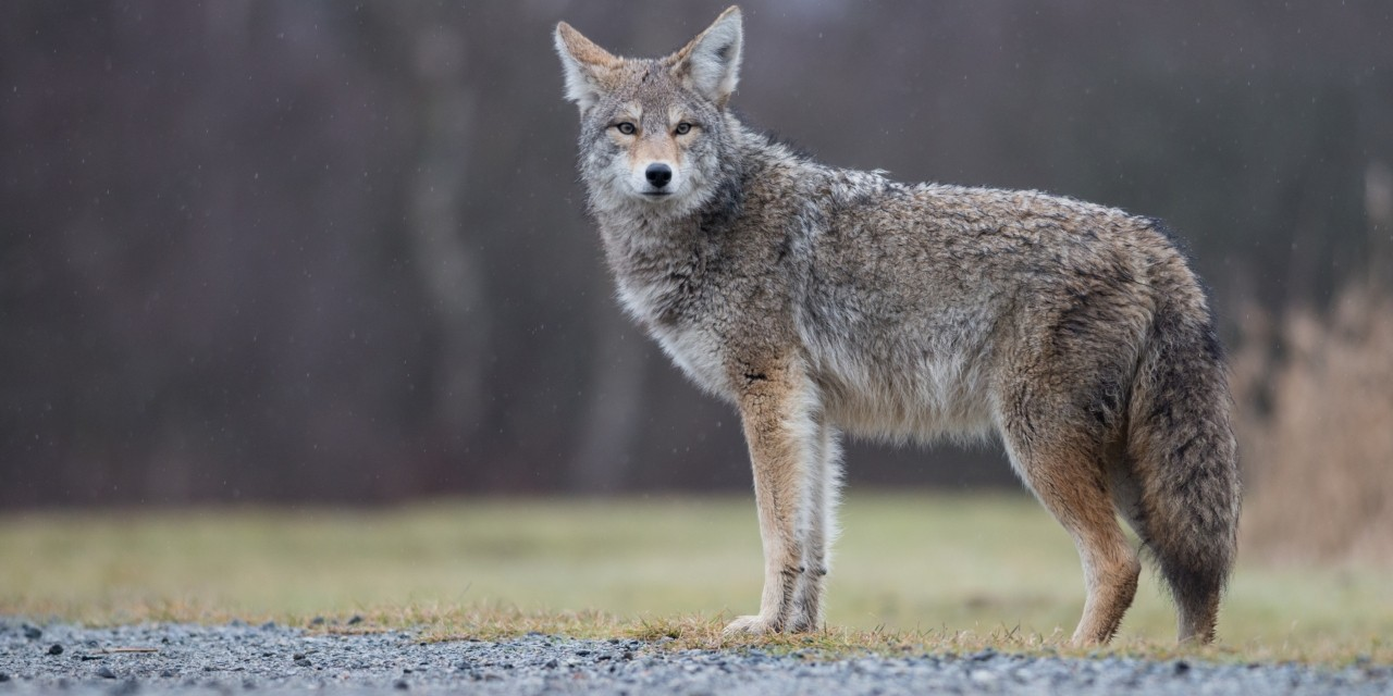 Urban coyotes were responsible for a spike in cat killings in the Edmonton area, according to U of A researchers who found some of the wily predators may even be specializing in hunting domestic cats. (Photo: Getty Images)