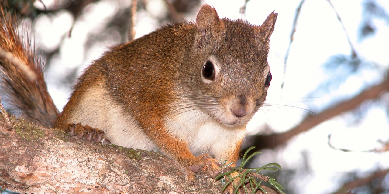 Young male squirrels who inherit abandoned food caches of older males increase their odds of survival, as well as those of their offspring, according to new research. (Photo: supplied)